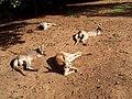 Australia Queensland kenguru - panoramio - Vinko Rajic (2).jpg