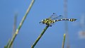 Australian Tiger (15824431347).jpg