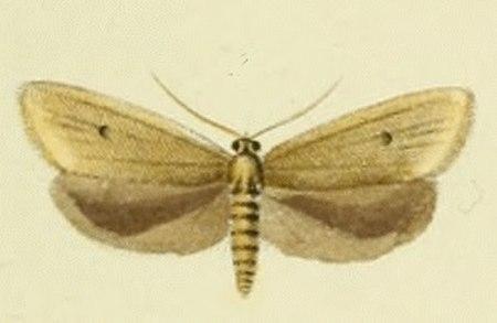 Avaria (chi bướm)
