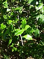 B52 Ilex opaca (American Holly) Close-up.jpg