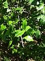 B52 Ilex opaca (American Holly) Close-up.jpg