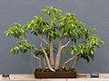 BBG - Ficus benjamina - Forrest.jpg