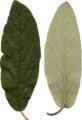 BGTransp L Viburnum rhytidophyllum leaf detail.png