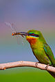 BLUE TAILED BEE EATER WITH PREY.jpg