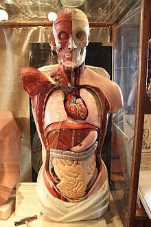 anatomie lidského těla orgány