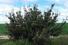 a large spreading shrub in an area of low vegetation less than 1 m (3.3 ft) high on a sunny day