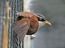 Babbler, Chestnut-backed Scimitar6.jpg