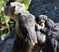 Baby chimp (5338909621).jpg
