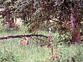 Baby deer (7978153535).jpg