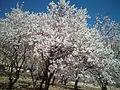 Badem tree.jpg