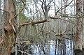 Bald Cypress Trail First Landing State Park-spanish moss-trees (32364282874).jpg