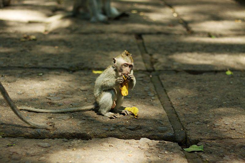 File:Bali 055 - Ubud - Balinese Macaque monkey.jpg