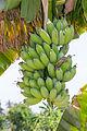 Bananas on banana tree, Sambisari Temple, Yogyakarta, Indonesia 2014-09-28.jpg