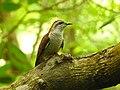Banded bay cuckoo (ചെങ്കുയിൽ ) - 12.jpg