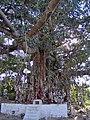 Banyan-Tree-Hampi-Karnâtaka-Inde.JPG