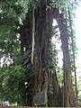 Banyan trunc 01 in Tirtagangga by Line1.jpg