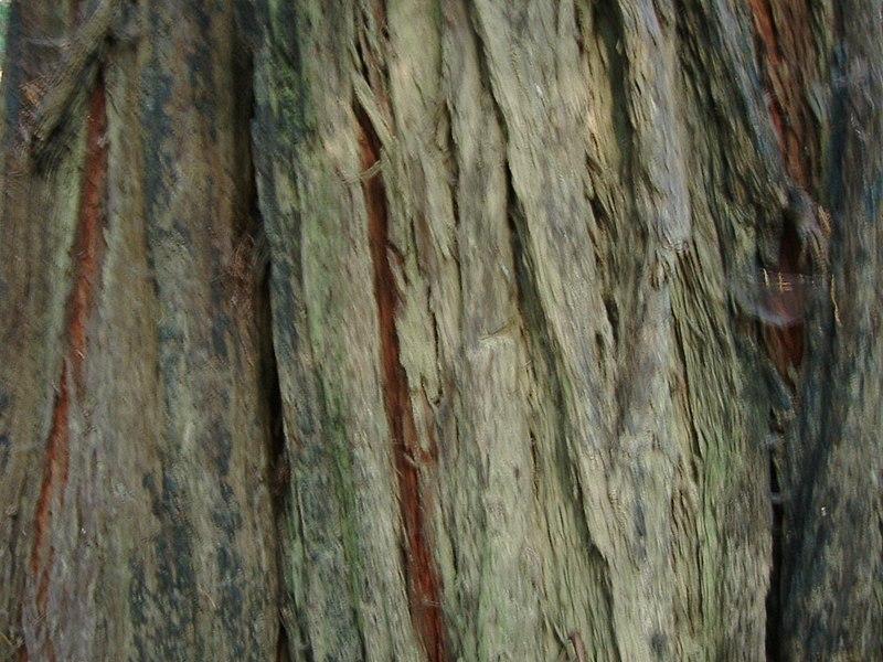 File:Bark of a redwood tree (10303203903).jpg