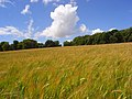 Barley, Stokenchurch - geograph.org.uk - 883766.jpg