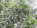 Barringtonia acutiangula-3-AJCBIBG-howrah-India.jpg