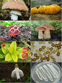 Basidiomycota collage.jpg