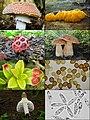 Basidiomycota collage.jpg