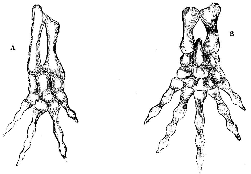 Batrachian Mivart