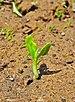 Bauhinia acuminata plantlet 14042014 01.jpg