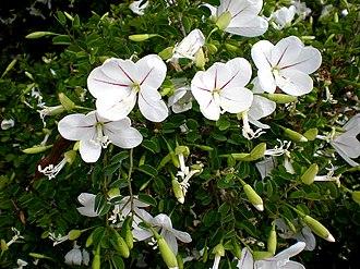 Bauhinia - Image: Bauhinia natalensis 2c