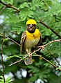 Baya Weaver Ploceus philippinus male Breeding plumage by Dr. Raju Kasambe DSC 5420 (19).jpg