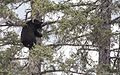 Bear 1 tree 129.jpg