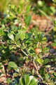 Bearberry (Arctostaphylos uva-ursi) - MacGregor Point Provincial Park 02.jpg