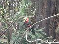 Bearded Barbet at Amazon World Zoo.JPG