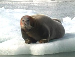 Bearded seal - Bearded seal on ice, Svalbard