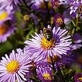 Bee on Michaelmas daisy Feeringbury Manor, Feering Essex England view 4.jpg