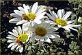 Bees on Daisys 10-26-13 (10561257825).jpg