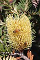 Bees on yellow Silver banksia -4 on Bruny Island (33916512105).jpg