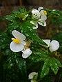 Begonia dregei (Scott Zona) 001.jpg