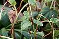 Begonia grandis 0zz.jpg