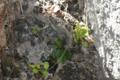 Begonia hughesii04.png
