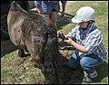 Benjamin clipping Shetland Pony-1 (29557906674).jpg
