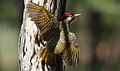 Bennett's Woodpecker, Campethera bennettii at Marakele National Park, Limpopo, South Africa ( male displaying) (16094638719).jpg