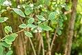 Berberis silva-taroucana in La Jaysinia (2).jpg