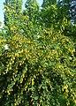 Berberis vulgaris kz01.jpg