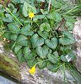 Berne botanic garden Narcissus bulbocodium.jpg