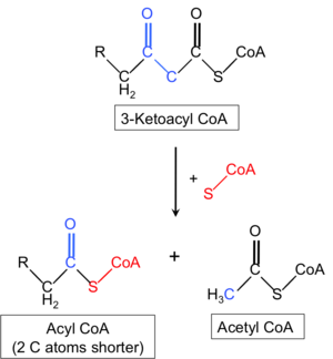 HADHB - Enzymatic activity of HADHB in beta-oxidation