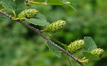 Betula glandulosa OBG 2012-05-28 01.jpg