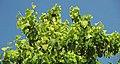 Betula maximowicziana (monarch birch) 3 (24789551397).jpg