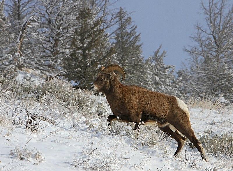 File:Bighorn sheep ram (11296378705).jpg