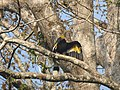 Bird Great Hornbill Buceros bicornis at nest DSCN9018 22.jpg