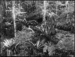 Birds Nest Ferns (4903251157).jpg